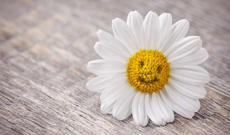 настроения, ромашка, улыбка, cvety, цветочки,