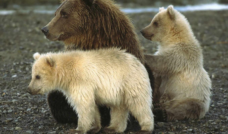 медведи, медведь, браун, бурые, медведей,