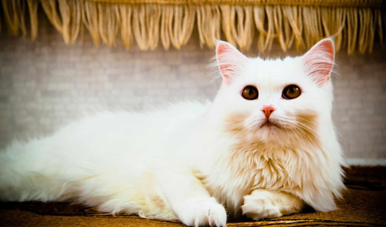 cats, кот, лежит, глаза,