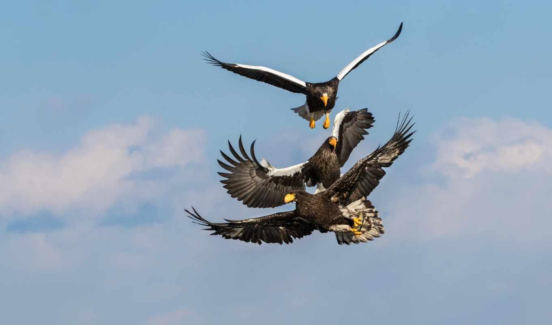 орлан, орлы, белокрылый, золотистый, горы, пробки, небесные, фев,