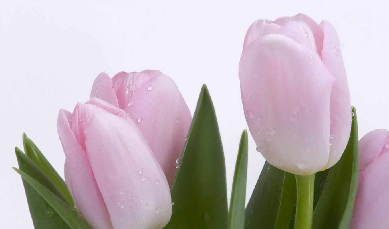 wallpaper, wallpapers, tulips, тюльпаны, desktop, pink, росса, нежность, flower, flowers, hd, download, цветы,