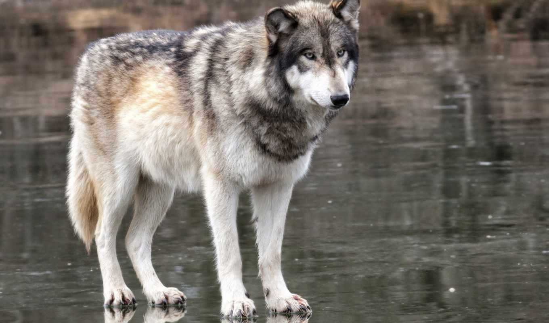 волк, хищник, животные,