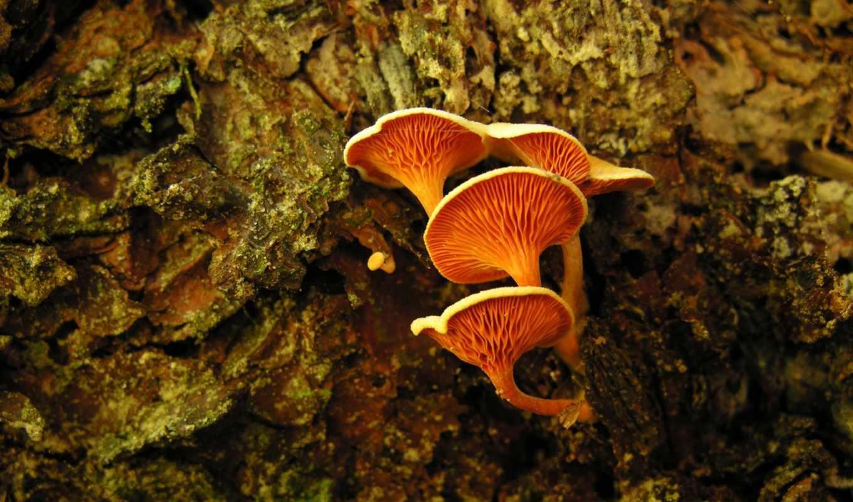 mushrooms, оранжевый, desktop, mushroom, photos, mac,