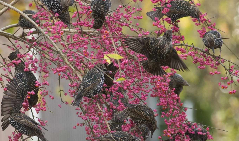 zhivotnye, дерево, категории, телефон, ягоды, tapety, птицы, скворцы, ветки,