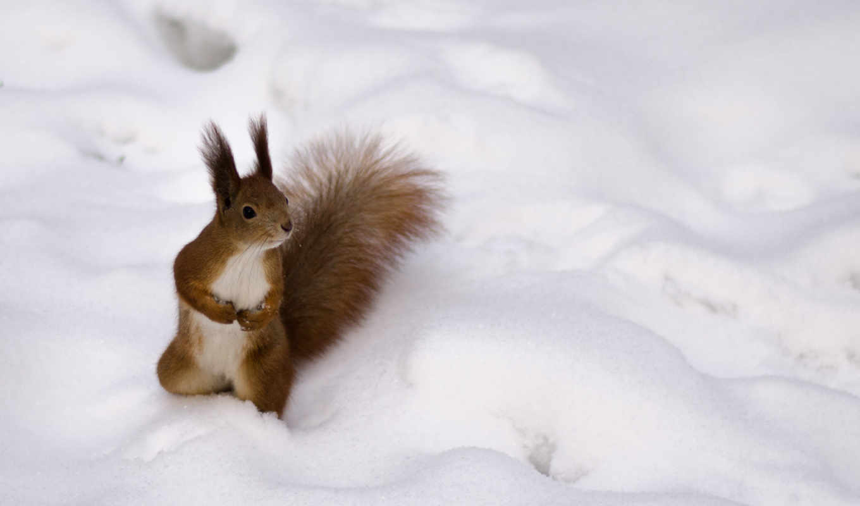 белка, рыжая, снег, пушистая, kartinka, хвост, zima,