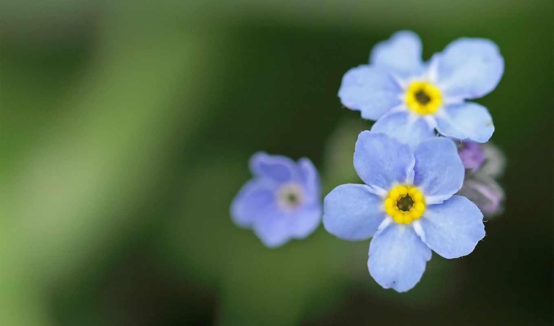 цветы, незабудки, голубые, макро, растения, зелёный, синие,