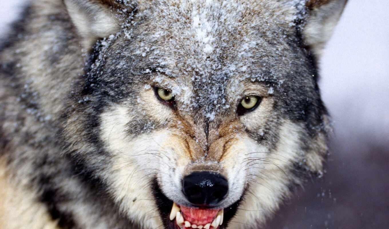 красивые, волки, волков, ухмылка, волка, прикольные, позитивные, zhivotnye, волк, боится,