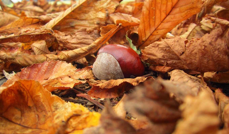 листья, каштан, осень, природа, желтые, макро, опавшие, картинка,