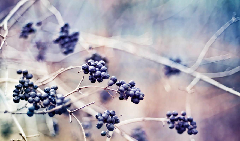 ветка, рябина, осень, hd, ваниль
