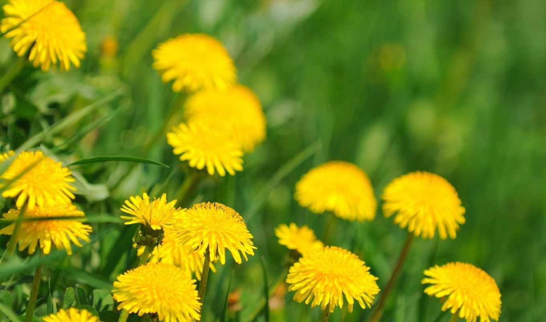 одуванчики, цветы, весна,