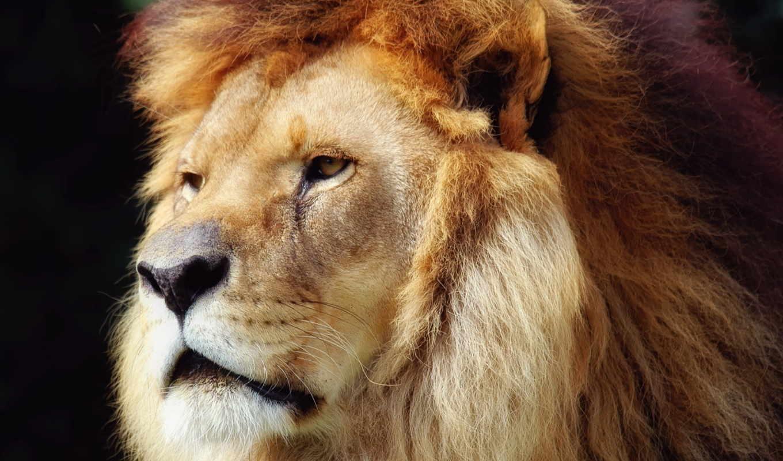 lion, king, грива, зверей, кошки,