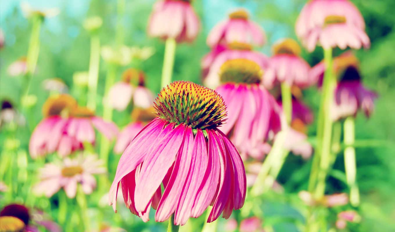 розовый, фон, цветы, summer, flowers, photos, зелёный, фотообои, views,