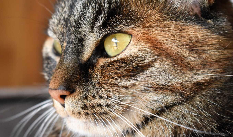 кот, зелёный, глаз, tabby, black, браун, глаза, pet