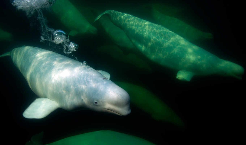 кит, массы, длины, самки, мельче, плавника, самцы, достигают, без, спинного, small, white, крупнейшие, белуга,