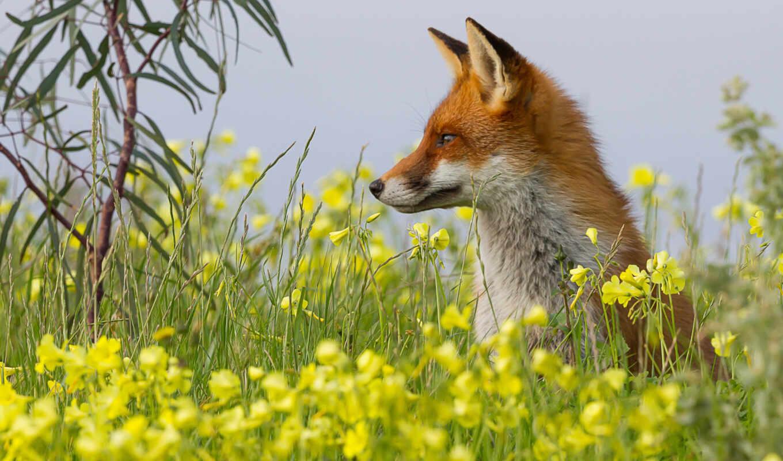 фокс, animal, трава, summer, narrow, природа, red, stoloboi, drawing