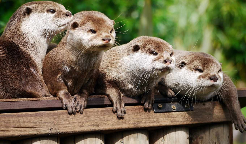 выдра, otter, речная, zhivotnye, dhc, mull, бескоготная, выдры, азиатская,