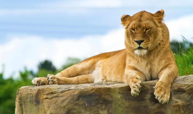 львица, лев, просмотреть, детеныши,