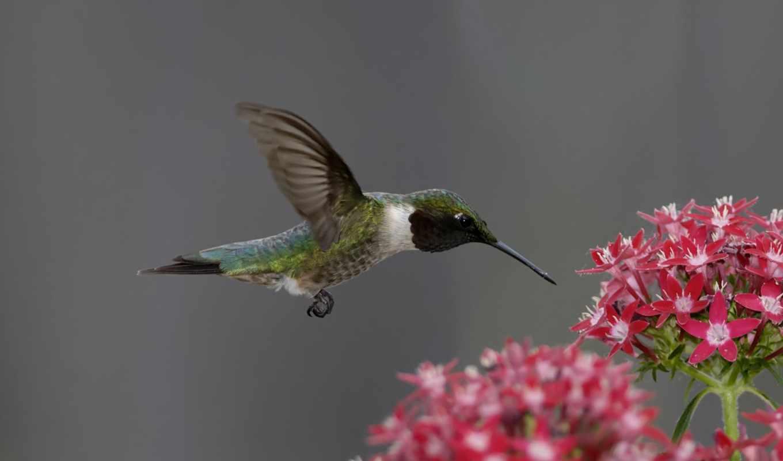 цветок, птица, колибри, колибри, розовый,