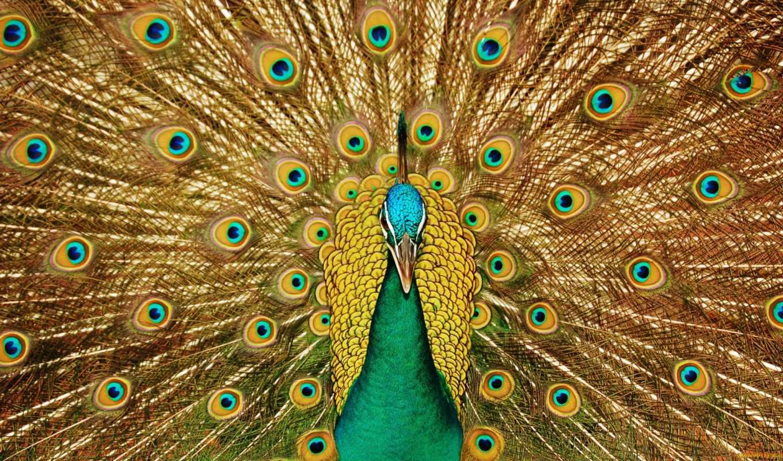 peacock, птица, фотообои, любая, оставить, tail, rub, чтоб, ultra, клюв,