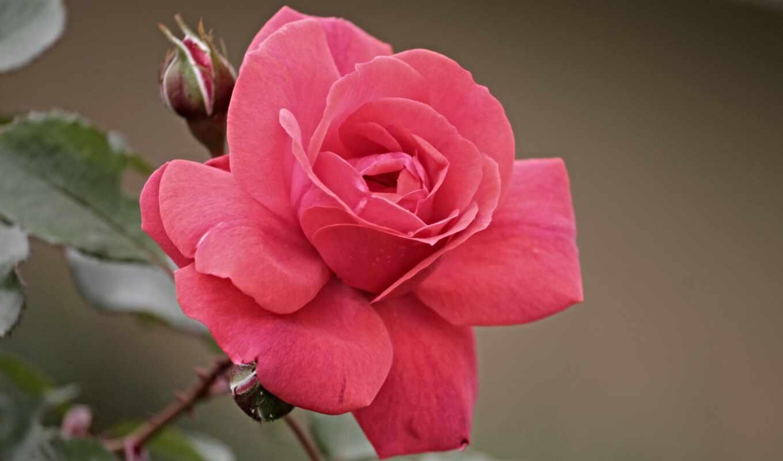 роза, tarde, side, boa