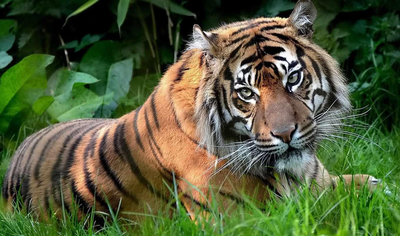 тигр, трава, поляна, картинка, животные, картинку, категория, просмотреть,