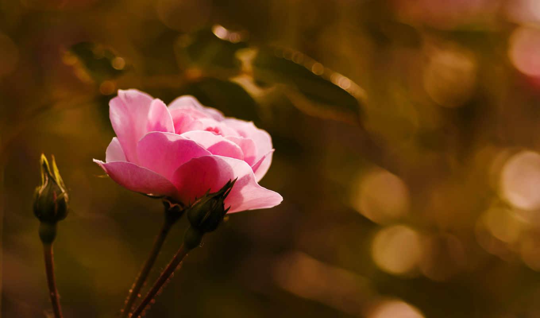 роза, цветок, бутоны, макро, картинка, кнопкой, картинку, бутонами, золотистый, смотрите,
