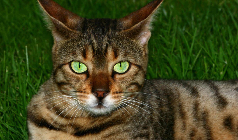 бенгальская, кот, породы, кошки, кошек, история, порода, кошку, том,