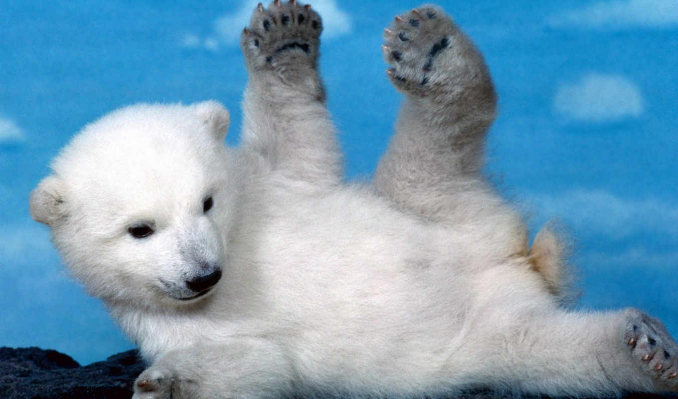 bear, polar, cute, bears, animals,