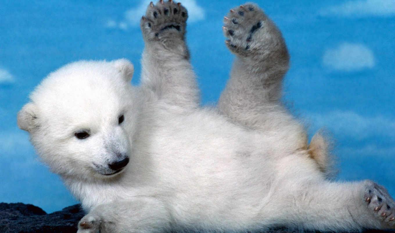 bear, polar, cute, bears, animals,