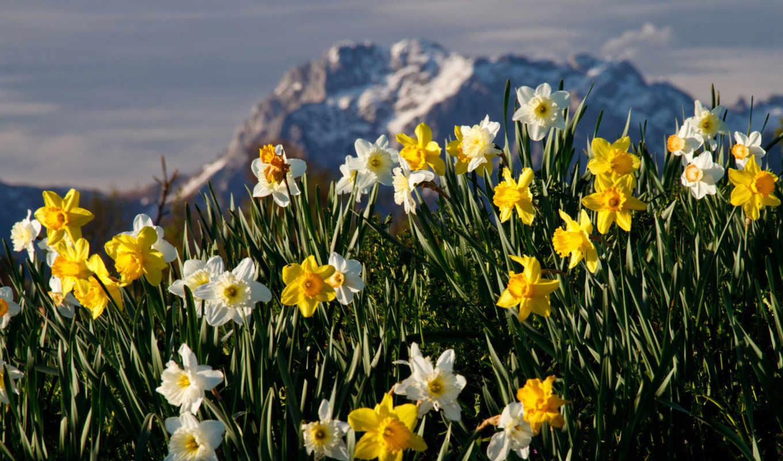 mountain, narcissus, цветы, нарциссы, widescreen, wide,