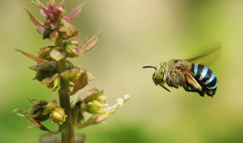 пчелка, banded, blue, природа, karthik, photography, полет,