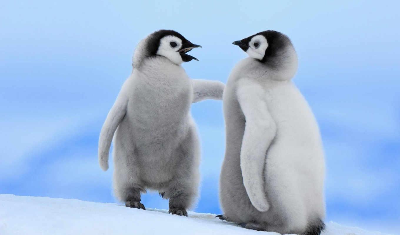 пингвины, птицы, дек, пушистые,