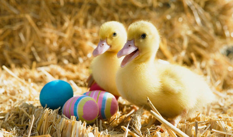 утята, jaune, утка, пасхальные, canard, яйца, zhivotnye, caranrd, animal,