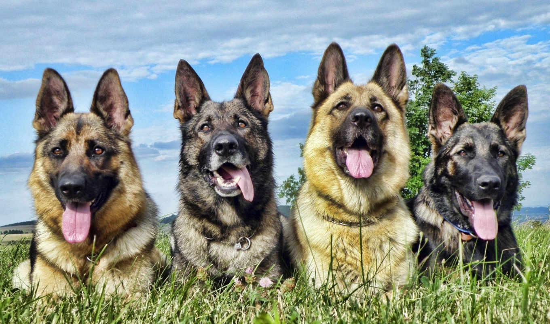 собаки, широкоформатные, высоком, собака, овчарка, красивые, год, немецкая, овчарки,