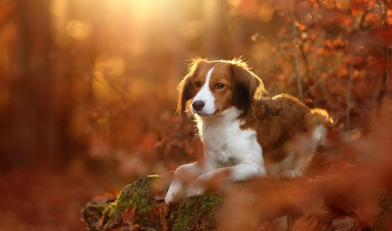 собака, осень, лес, stoloboi, fuch, narrow, лист, koikerhonde