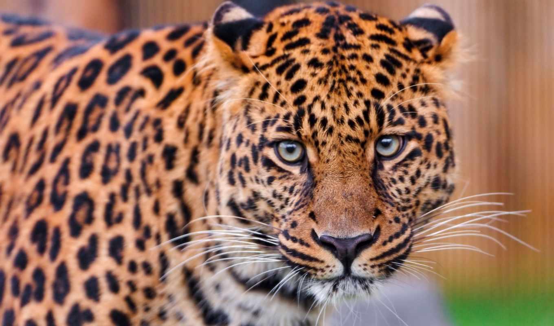 хищник, леопард, взгляд, морда, усы, глаза,