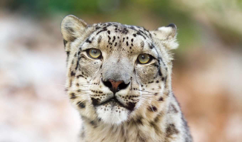 snow, leopard, download, cat, this, all, assam, ирбис, was, взгляд,