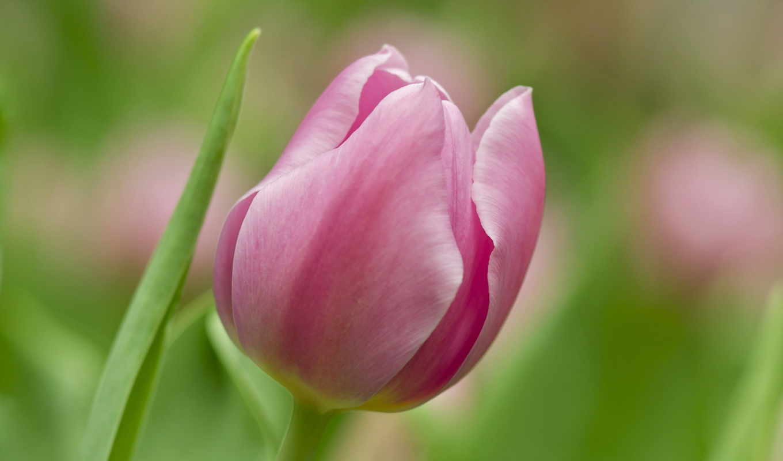 цветы, розовый, soft,