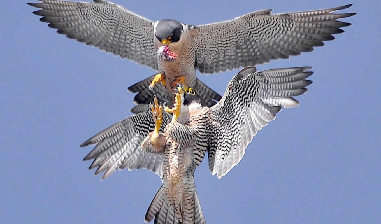 sokół, wędrowny, latest, tweets, ptak, living,