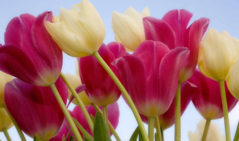 flowers, цветы, devushki, тюльпаны, графика, бутоны, anime,
