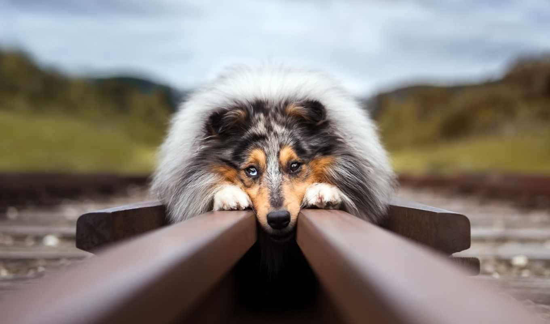 грустные, zhivotnye, колли, rough, коллекция, небо, лучшая, собаки,