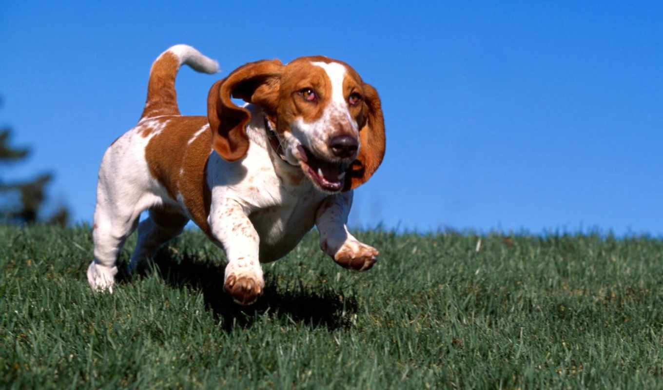 wallpaper, basset, dogs, hound, perro, animals, running, image, un, картинку, dog, is, you, antes, wallpapers,