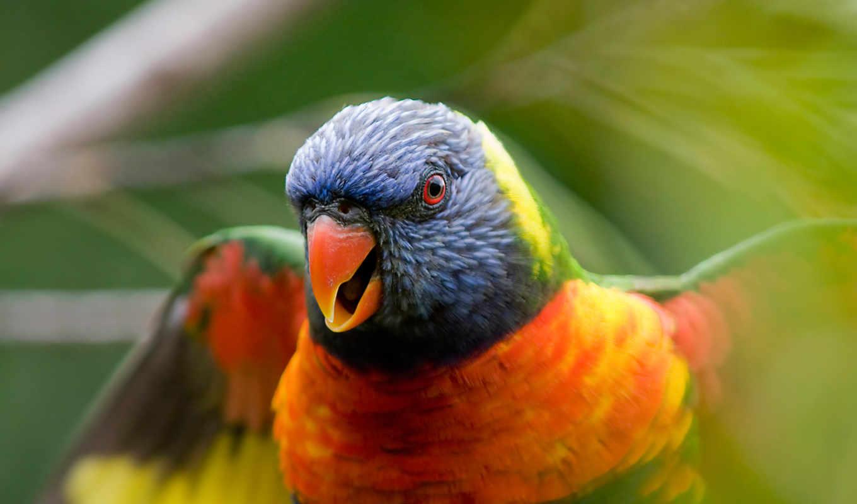 wallpaper, parrot, rainbow, lorikeet, download, hintergrundbilder, hd, widescreen, close, desktop, up, папуг, birds, nahaufnahme, vögel, bird, знаю,