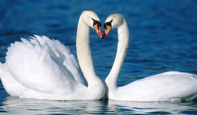 птицы, лебедь, вода, пара, лебеди, красивые, любовь, верность, картинка, картинку, кнопкой, же, best,