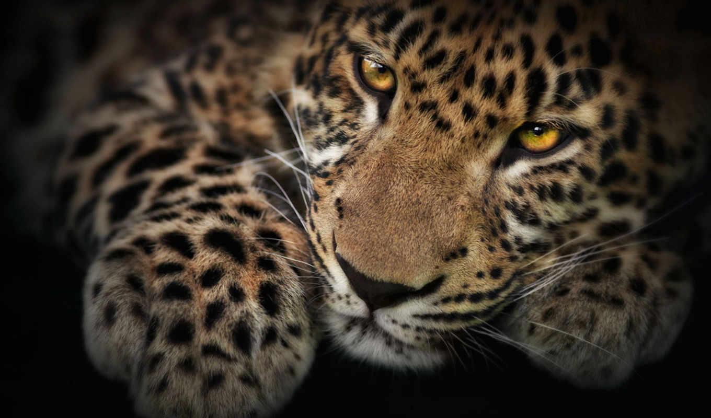 леопард, леопарды, pardus, panthera, высоком,