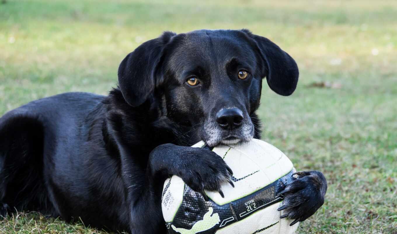футбол, toy, собака, labrador, senior, трава, marzaluk, василиса, mobile
