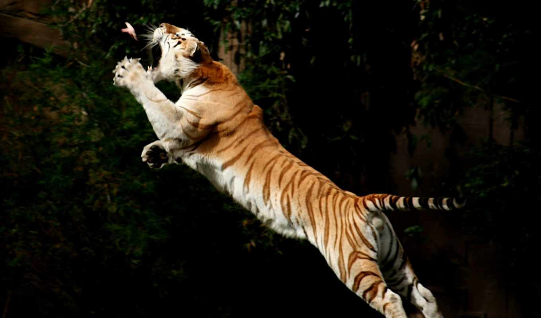 тигр, обои, фото, прыжке, животные, обоев, ru, тиг