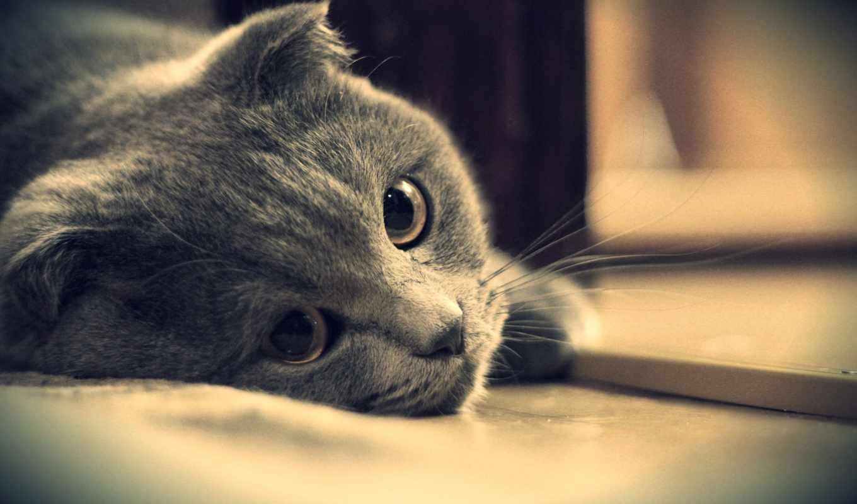 кот, британец, глаза, серый, котэ, картинка, картинку,