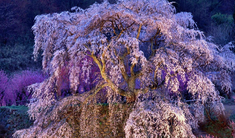 японии, сакуры, природа, цветение, природе,