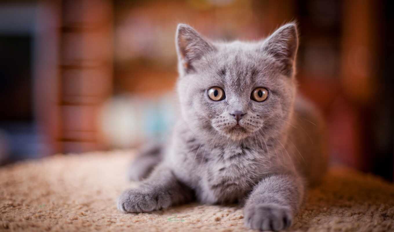 серый, кот, котенок, колл, kotenk, nash, девушка